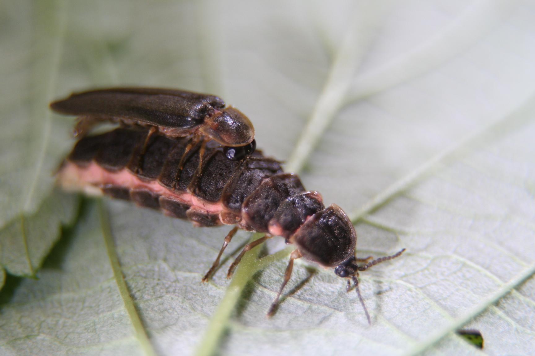 Lampyris noctiluca – Świetlik świętojański – AraneaeOfPoland